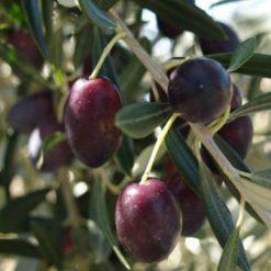 Kosher extra virgin olive oil - Picholine 110ml at healthytokyo