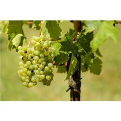 Sauvignon Blanc Special Reserve