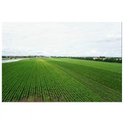 Organic Kale Flakes from Denmark farm