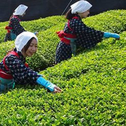 organic matcha green tea picking