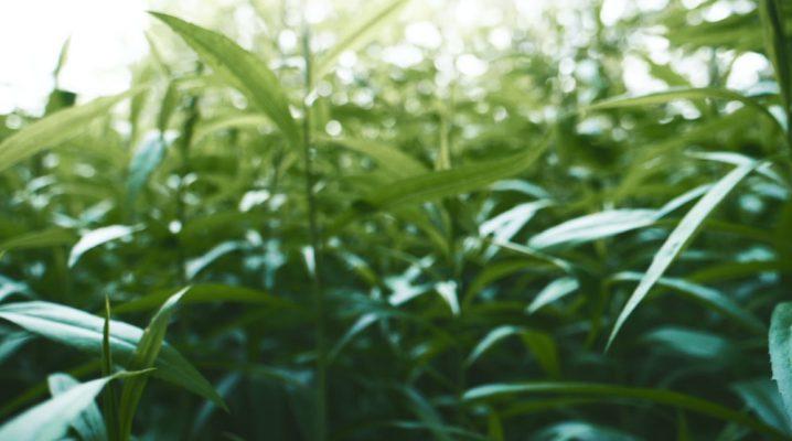 matcha green tea field