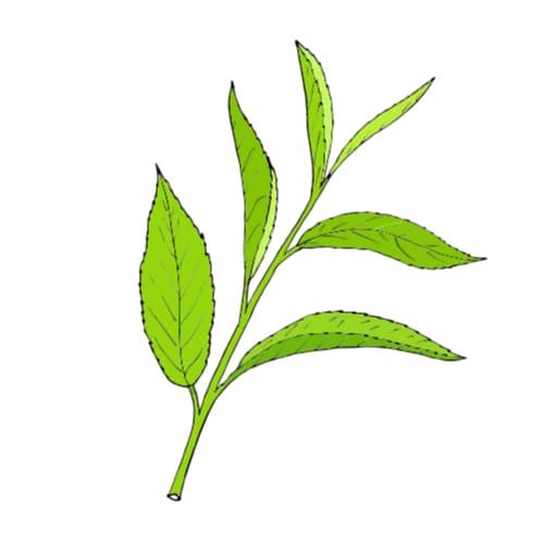 green tea in CBD Facial Mask